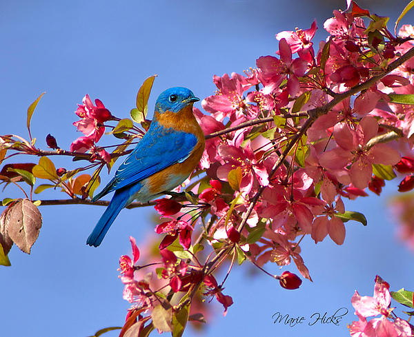 Bluebird In Apple Blossoms Print by Marie Hicks