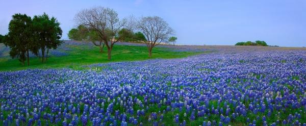 Bluebonnet Vista - Texas Bluebonnet Wildflowers Landscape Flowers  Print by Jon Holiday