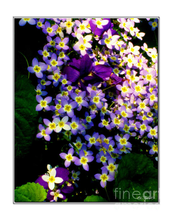 Bluets And Violets Print by Diana  Tyson