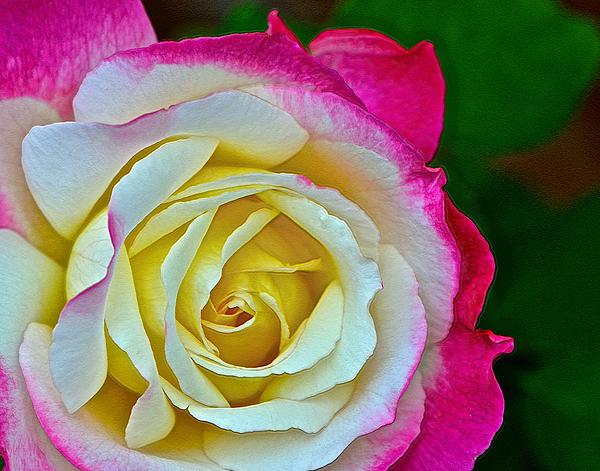 Blushing Rose Print by Bill Owen