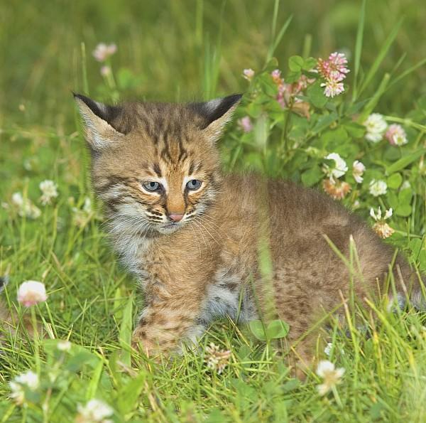 Bobcat Kitten Print by John Pitcher