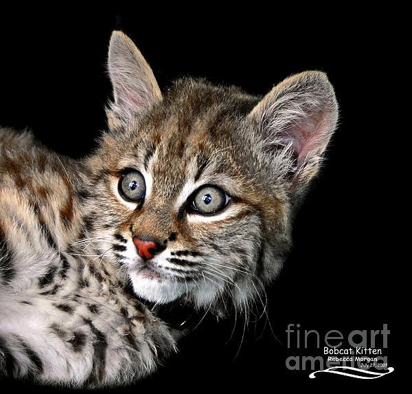 Rebecca Morgan - Bobcat Kitten
