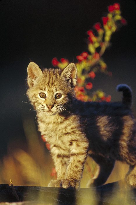 Bobcat Kitten Standing On Log North Print by Tim Fitzharris