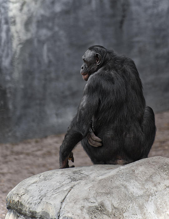 Bonobo Print by Wade Aiken