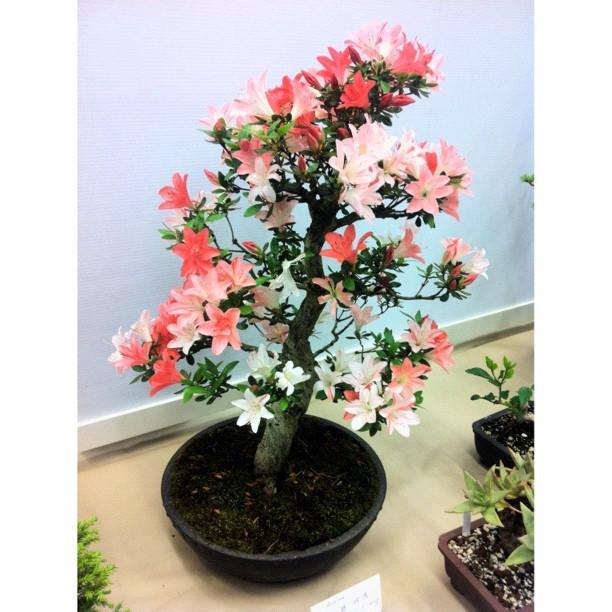 bonsai #tree #china #japan #art by Victor Wong - #bonsai #tree ...
