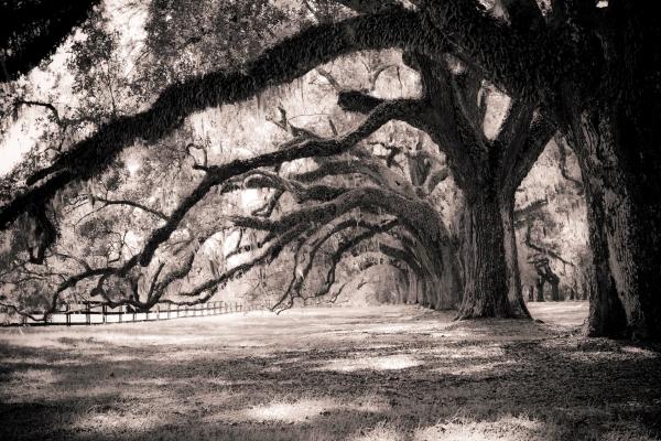 Boone Hall Plantation Live Oaks Print by Dustin K Ryan