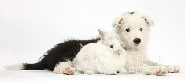 Border Collie Puppy With Baby Rabbit Print by Mark Taylor