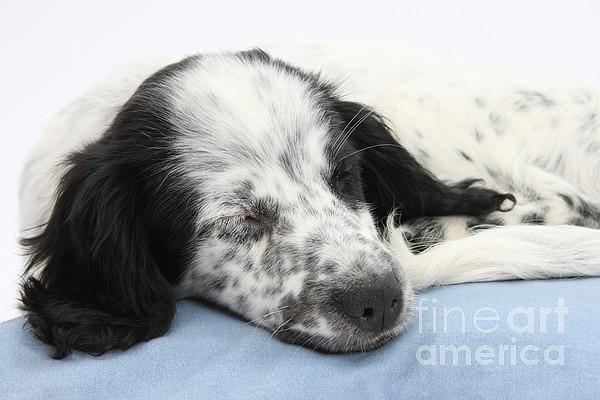 Border Collie X Cocker Sleeping Puppy Print by Mark Taylor