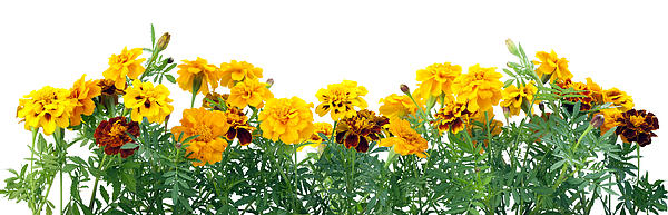 Border From  French Marigold  Print by Aleksandr Volkov