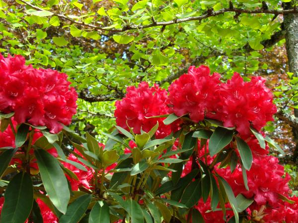Botanical Garden Art Prints Red Rhodies Trees Baslee Troutman Print by Baslee TroutmanFine Art Prints Collections