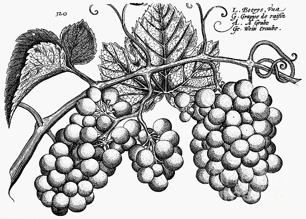 Botany: Grapes Print by Granger