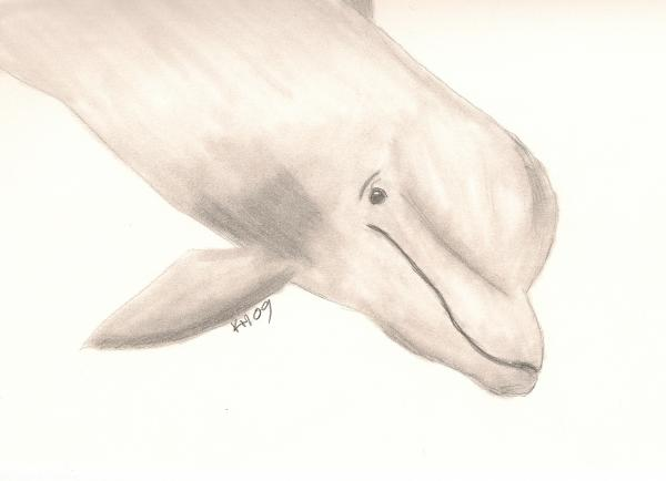 bottlenose dolphin drawing image search results