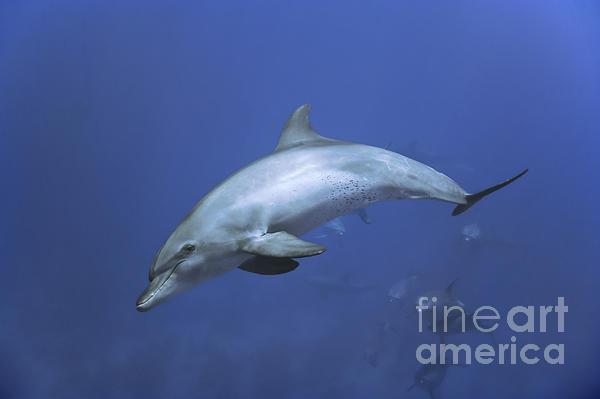 Bottlenose Dolphin Print by Tom Peled