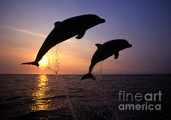 Bottlenose Dolphins Print by Francois Gohier and Photo Researchers