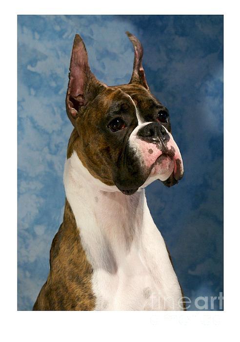 Boxer 456 Print by Larry Matthews