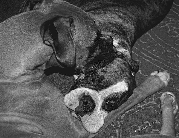 Boxer Buddies Print by DigiArt Diaries by Vicky B Fuller