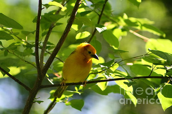 Bright Yellow Songbird Print by Christina A Pacillo
