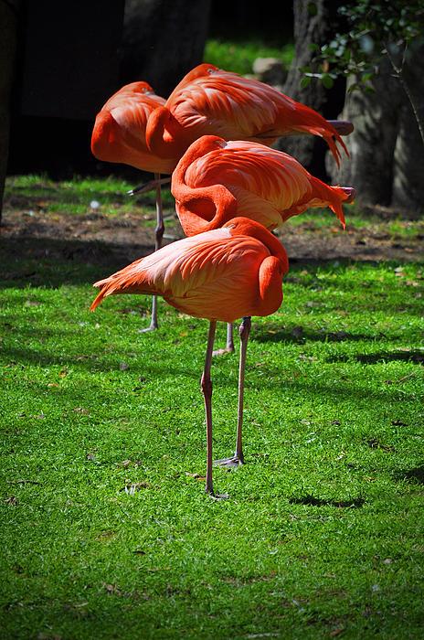 Brilliant Flamingos Print by Mary Machare
