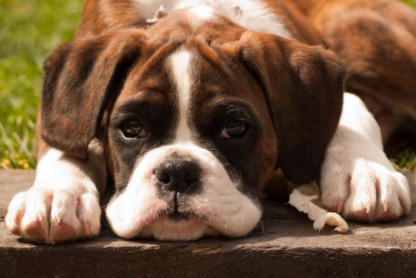 Brindle Boxer Pup Photograph