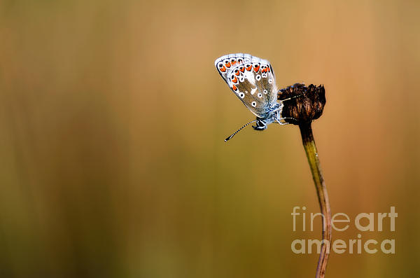 Brown Argus Photograph