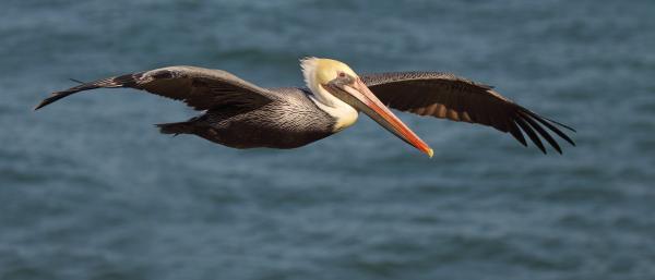 Max Allen - Brown Pelican Flying By