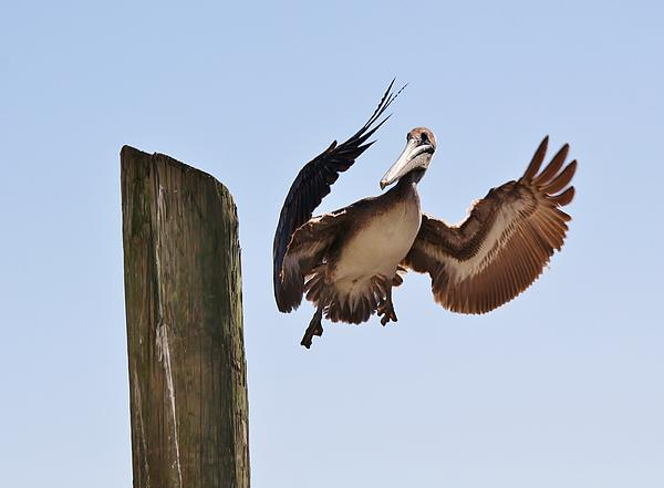Brown Pelican Landing Print by Paulette Thomas