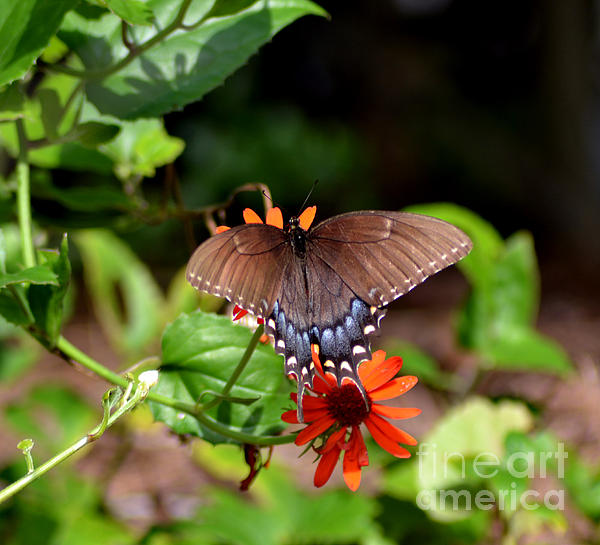 Brown Swallowtail Butterfly Print by Eva Thomas