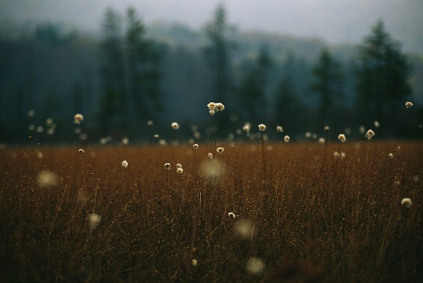 Browned Autumn Field Of Cotton Grass Print by Raymond Gehman