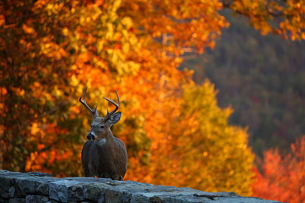 Buck In The Fall 03 Print by Metro DC Photography