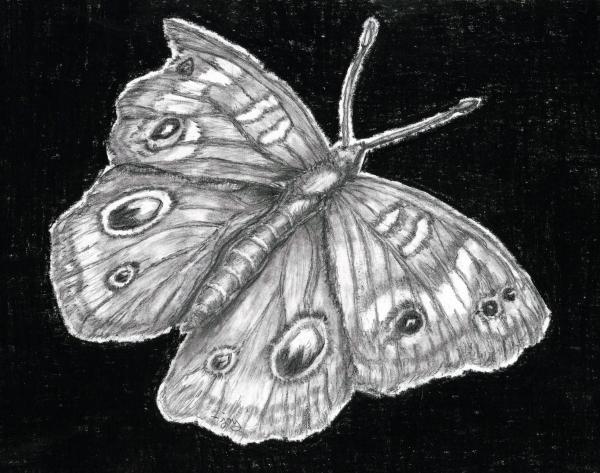 Buckeye Butterfly Print by Joy Neasley