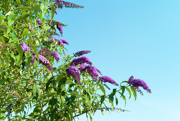 Buddleia Against Blue Sky Print by Adrian Burke