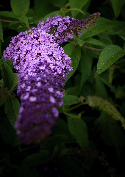 Buddleia Flower Print by Svetlana Sewell
