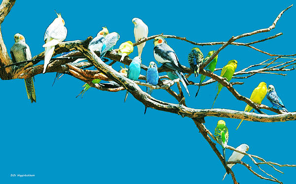 DiDi Higginbotham - Budgies On Blue