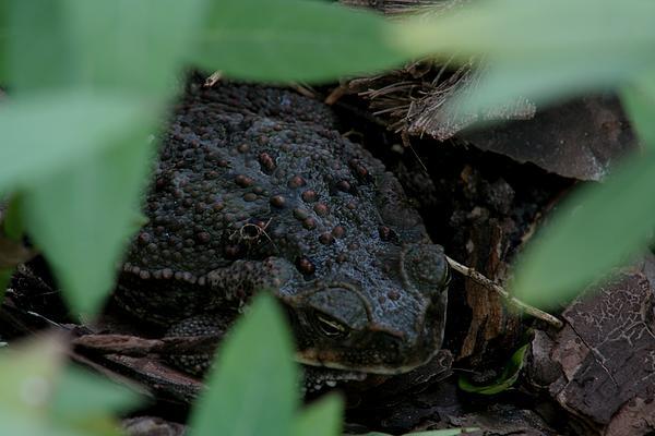 April Wietrecki Green - Bufo marinus - Cane Toad