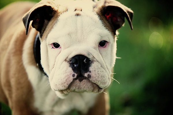 Bull Dog Print by Muoo Photography