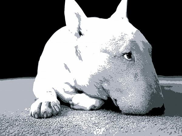 Bull Terrier White On Black Print by Michael Tompsett