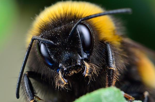 Bogdan Zagan - Bumble-bee portrait