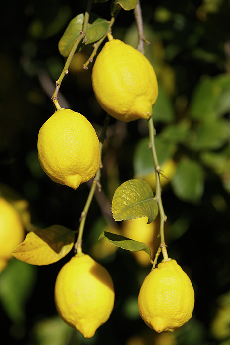 Bunch Of Lemons On Lemon Tree. Print by Ken Welsh