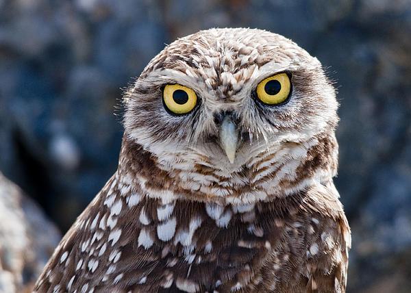 Burrowing Owl Portrait Print by David Martorelli