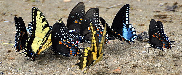 Butterfles And More Butterflies Print by Marty Koch