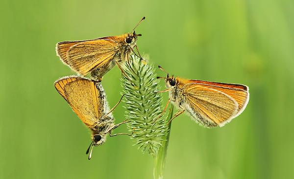 Butterflies Print by Mircea Costina Photography