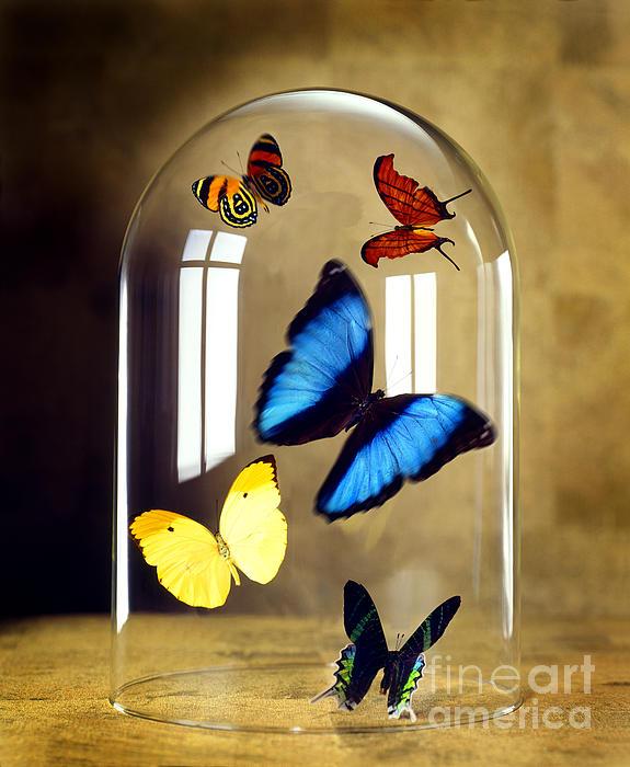 Butterflies Under Glass Dome Print by Tony Cordoza