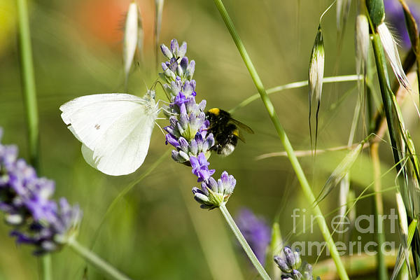 Cristina Lichti - Butterfly and bumblebee
