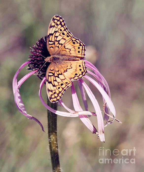 Pam  Holdsworth - Butterfly and Coneflower