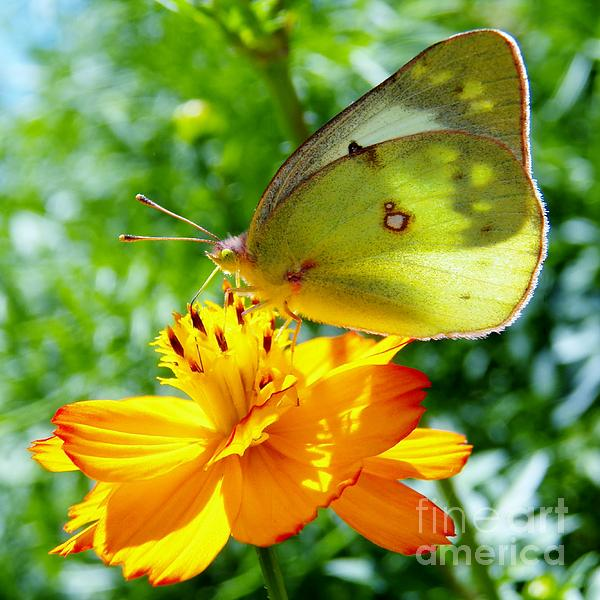 Judy Via-Wolff - Butterfly and Yellow Cosmo Flower