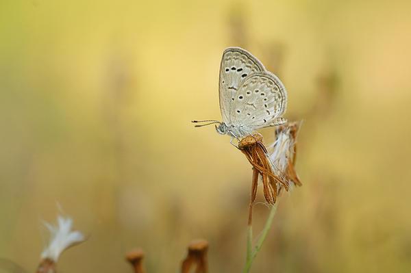 Eko  WS - Butterfly