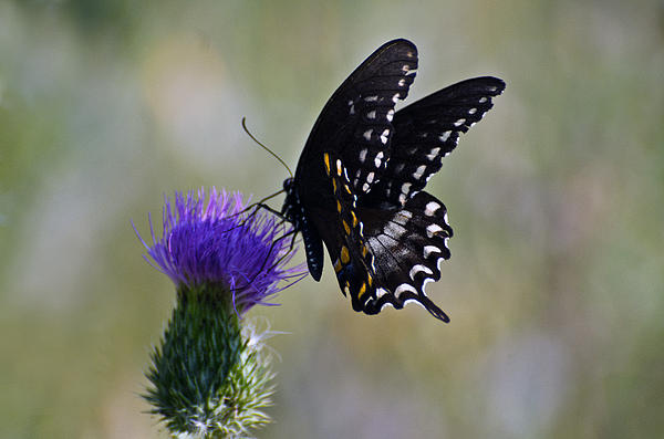 Cheryl Cencich - Butterfly feast