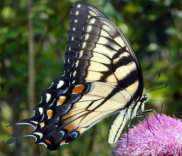 Butterfly Harvest II Print by Sheri McLeroy