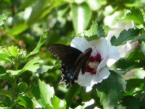 Karen Capehart - Butterfly