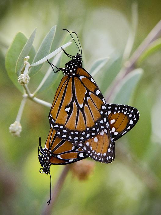 Saija  Lehtonen - Butterfly Love